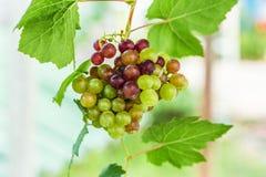 Виноградное вино в саде Стоковое фото RF