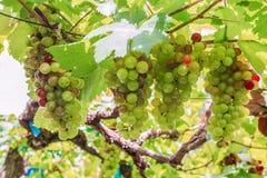 Виноградное вино в саде Стоковые Изображения