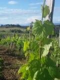 Виноградное вино в Тоскане Стоковое фото RF
