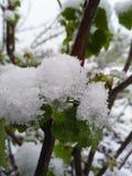 Виноградное вино начинает с проломом бутона после ледистого дождя Стоковые Фотографии RF