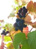 Виноградное вино на белой предпосылке Стоковые Фотографии RF