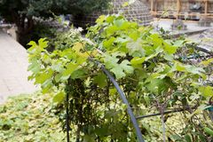 Виноградное вино покидает внешний крупный план солнечного света Стоковые Фото