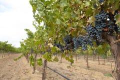 Виноградное вино с висеть голубые группы Стоковое Изображение