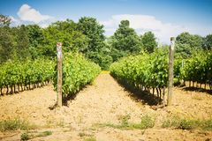 Виноградные вина весной Стоковое Изображение RF