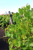 Виноградные вина с черной вулканической почвой Азорских островов Стоковые Фотографии RF