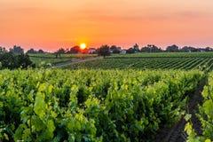 Виноградные лозы в Бретани Стоковые Изображения