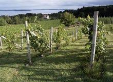 Виноградные лозы в Мичигане Стоковое Изображение RF