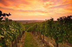 Виноградные лозы в Моравии на заходе солнца стоковое фото
