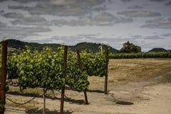 Виноградные лозы в Napa Калифорнии Стоковые Изображения RF