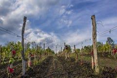 Виноградные лозы на винодельне Стоковая Фотография RF
