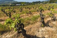 Виноградные лозы скача к жизни Стоковые Фотографии RF