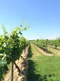 Виноградные лозы Стоковое Фото