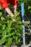 Виноградные лозы Стоковое Изображение