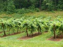 Виноградные лозы стоковая фотография