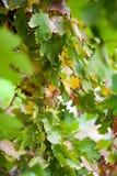 Виноградные лозы Стоковое Изображение RF