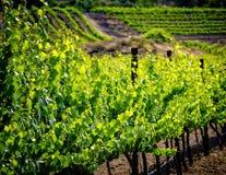 Виноградные лозы, Temecula, Калифорния Стоковая Фотография