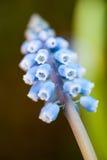 Виноградный гиацинт Стоковое Изображение RF