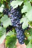 вино виноградины красное стоковые изображения