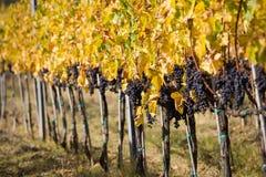 вино виноградин зрелое Стоковые Изображения RF