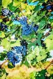 вино виноградин пуков красное Стоковые Изображения RF