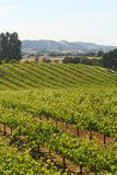 вино виноградника california Стоковые Изображения RF