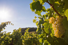 вино виноградины белое Стоковые Фотографии RF