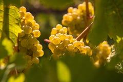 вино виноградины белое Стоковое Изображение