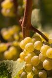 вино виноградины белое Стоковое Фото