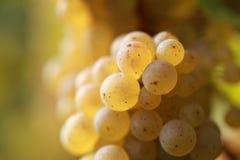 вино виноградины белое Стоковые Изображения