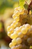 вино виноградины белое Стоковые Фото