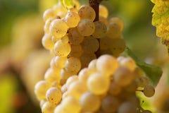 вино виноградины белое Стоковые Изображения RF