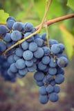 вино виноградин пука красное Стоковое фото RF