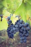 вино виноградин пука красное Стоковые Фото