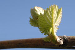 вино листьев стоковые фотографии rf