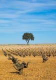 Вино, поле дерева виноградников с голубым небом Стоковые Фотографии RF
