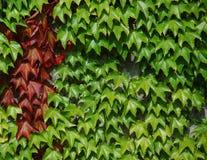 вино стены листьев Стоковое Изображение RF