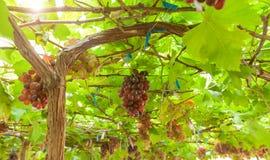 вино хлебоуборки виноградин вкусное стоковое изображение rf