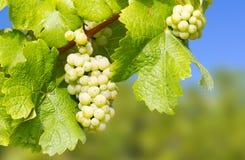 вино хлебоуборки виноградин вкусное стоковые фото