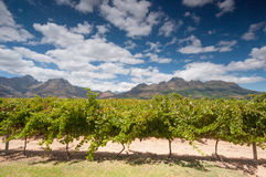 Вино Stellenbosch приземляется зона около Кейптауна. Стоковое Фото