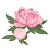 Винтажная иллюстрация вектора цветка пиона иллюстрация штока