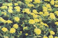 Винтажное желтое поле цветка Zinnia Стоковые Фотографии RF