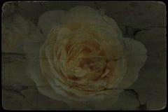Винтажное изображение цветения белых роз стоковая фотография rf