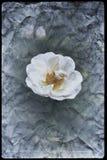 Винтажное изображение цветения белых роз стоковое фото