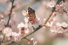 Винтажное фото белого дерева абрикоса цветет весной Стоковое Фото