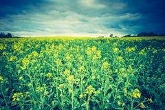 Винтажное фото зацветая поля рапса на восходе солнца Стоковые Фото