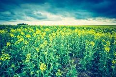Винтажное фото зацветая поля рапса на восходе солнца Стоковая Фотография