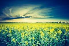 Винтажное фото зацветая поля рапса на восходе солнца Стоковое фото RF