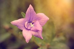 Винтажное фото розового wildflower Стоковое Фото
