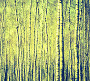 Винтажное фото стволов дерева березы Стоковые Изображения RF
