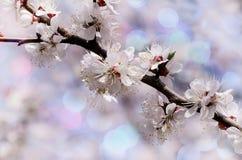 Винтажное фото цветка дерева абрикоса с красивой предпосылкой bokeh Фон весны тематический для вашего дизайна Стоковые Изображения